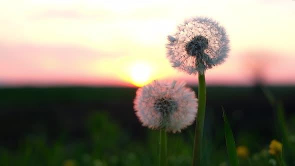 Thumbnail for Amazing Dandelion Flower on Summer Field