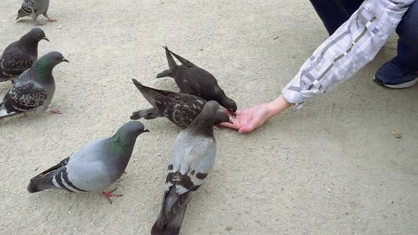 Thumbnail for Pigeons Pecking and Eating Food From Human Hand