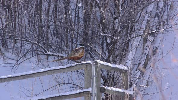 Ring-necked Pheasant Male in Winter Snow on Fence Rail at Farm or in Town