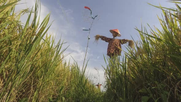 Paddy field decorated with scarecrows at Penang, Malaysia.