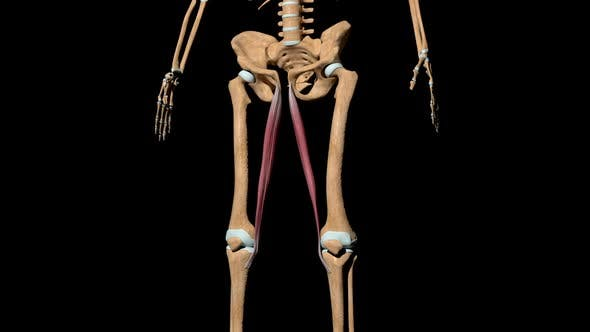 Gracilis Muscles On Skeleton
