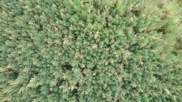 Thumbnail for Green field of hemp marijuana cannabis from bird eye view. Medical cannabis plant