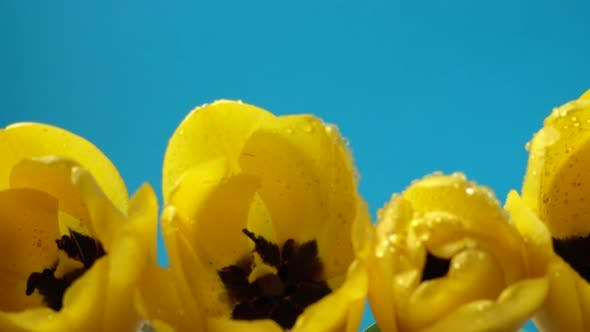 Thumbnail for Shooting of Tulips