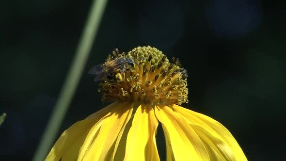 Cover Image for Bee Lone Eating Feeding in Summer Pollination Nectar Pollen Yellow Flower