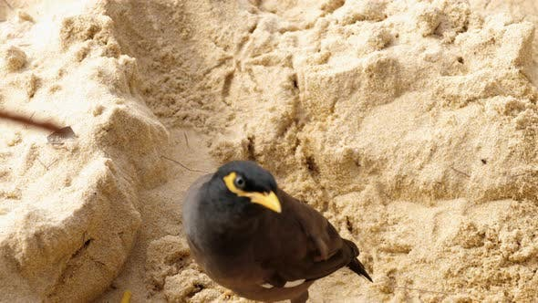 Thumbnail for Common Myna -Acridotheres Tristis