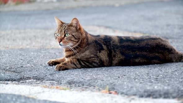 Beautiful Domestic Cat Looking Around