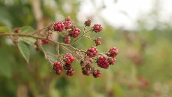 Thumbnail for Organic European blackberry bramble fruit  4K 2160p 30fps UltraHD footage - Fields of healthy Rubus