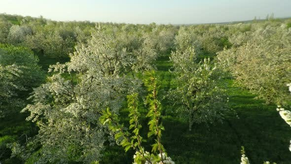 Thumbnail for Aerial View of Blooming Cherry Garden 8