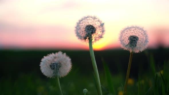 Cover Image for Amazing Dandelion Flower on Summer Field