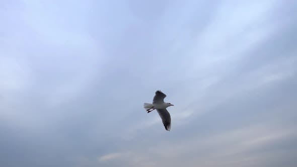 Thumbnail for Seagulls Flying In The Gray Clean Sky. Close Up Flock Of Birds Flies Slow Motion.  2
