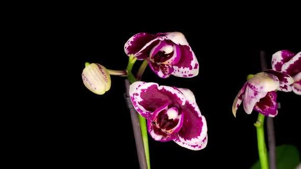 Blooming Purple Orchid Phalaenopsis Flower