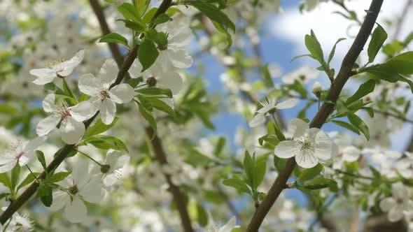 Thumbnail for Beautiful White Sakura Flowers In The Park