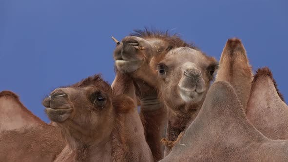Thumbnail for Bactrian Camels Portrait in Steppe