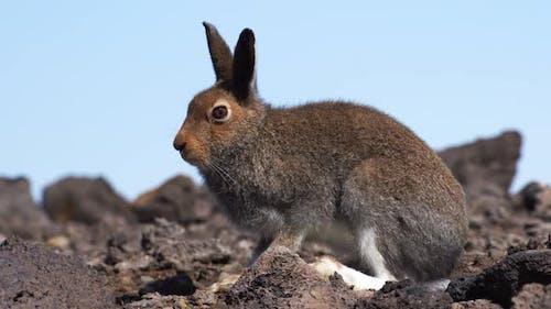 European Hare, Lepus Europaeus, Nature