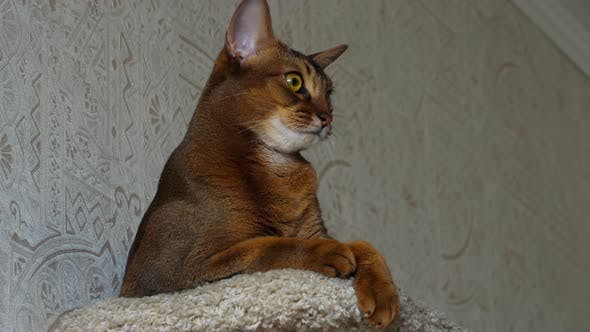 Thumbnail for Abyssinian Cat Portrait