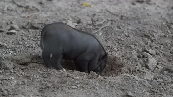 Thumbnail for Little Black Pig Digs The Ground