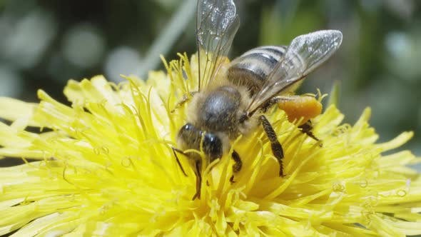 Worker Bee Collecting Honey Nectar on Dandelion