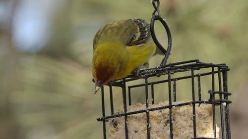 Western Tanager Female Adult Lone Eating Feeding in Spring Suet Feeder