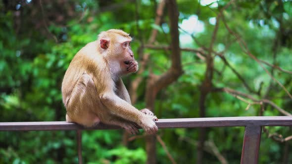 Thumbnail for A Wild Monkey Sits on The Railing in The Park. Natural Habitats. a Tropical Forest