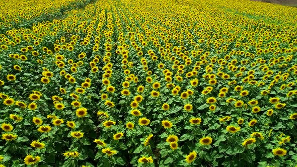 Thumbnail for Aerial View Of Yellow Sunflower Fields