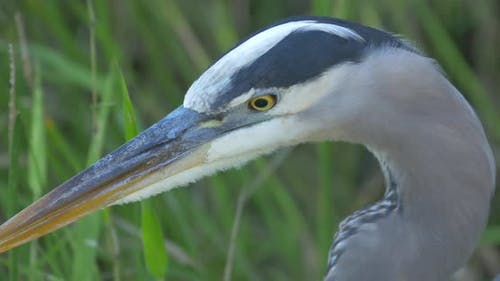 Close up of a heron's head