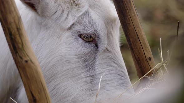 White hairy goat eating