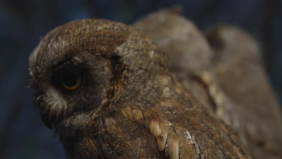 Thumbnail for Three Young Owls Are Sitting in a Row in the Studio, Wildlife,