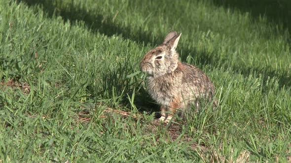 Thumbnail for Cottontail Rabbit Adult Lone Eating Feeding in Summer Eating Green Grass
