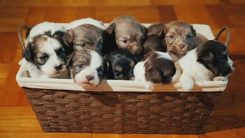 Basket with Little Puppies