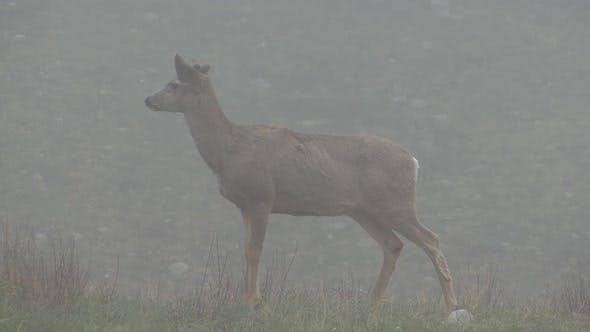 Mule Deer Buck Male Adult Lone Standing in Spring Fog Antler Knubs Velvet