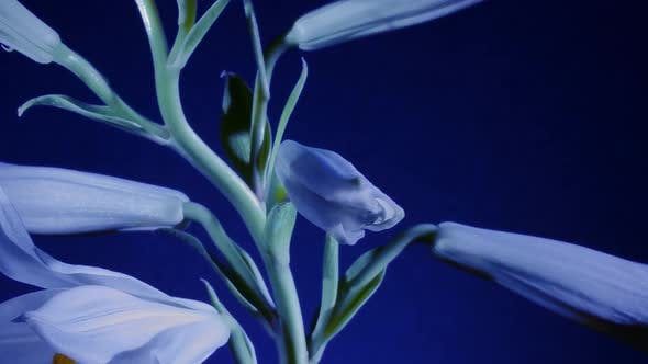 Lily Opening on Blue Background