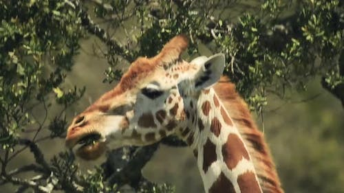 Close up of a giraffe eating leaves, in the Kenyan bush, Africa