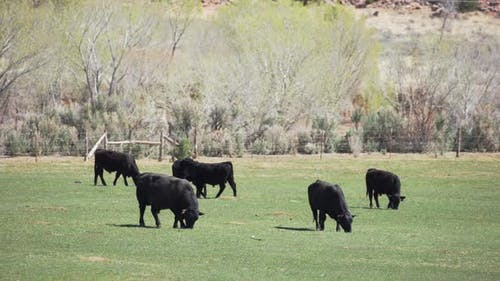 Free range livestock cows eating grass in meadow