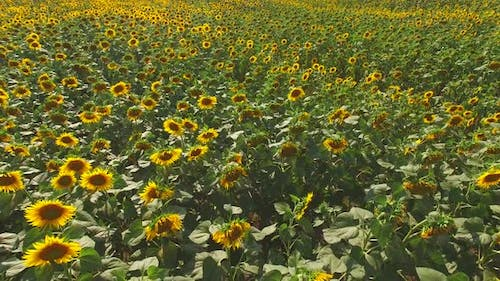 Lots of Sunflowers.