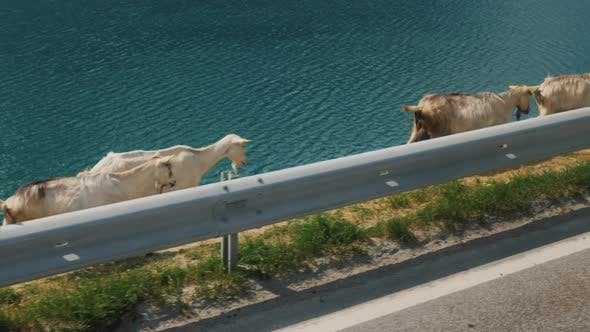 A Herd of Domestic Goats Goes Along the Road