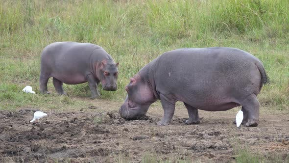 Sleepy hippos in Pilanesberg Game Reserve