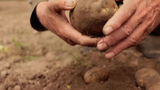 Farmer Inspects His Crop Potatoes Hands Stained Earth