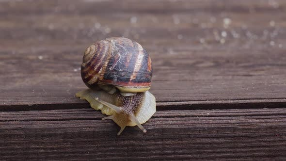 Garden Snail Crawling on a Wooden Surface. Close Up