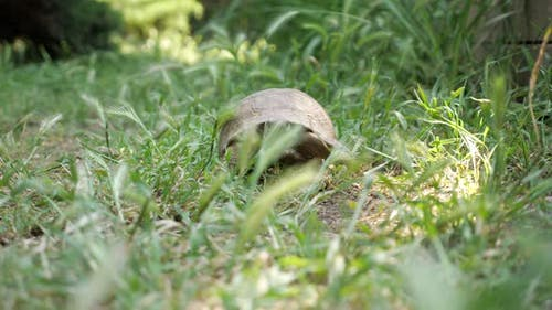 Turtle Moving on Fresh Green Grass to the Camera