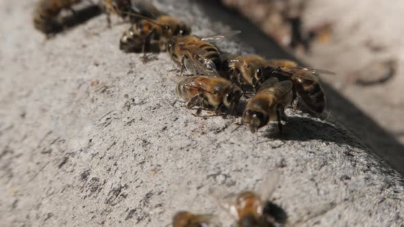 Thumbnail for Bee Colony. Bees Crawl on the Slate.