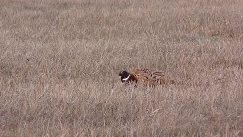 Ring-necked Pheasant Cock Male Adult Lone Walking Moving in Autumn Stubble