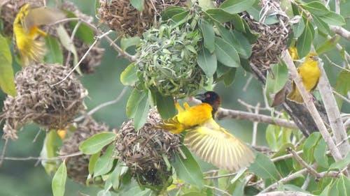 Weaver birds building a nest in a tree