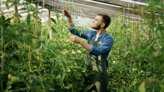 Thumbnail for Mann arbeitet an Tomatenpflanze