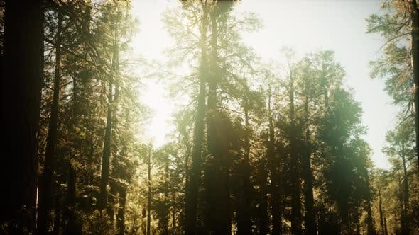 Thumbnail for Hyperlapse in Sequoia Forest From Sunrise