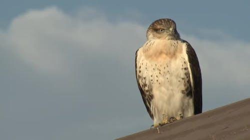 Swainsons Hawk Immature Lone Resting Looking Around in Autumn in South Dakota
