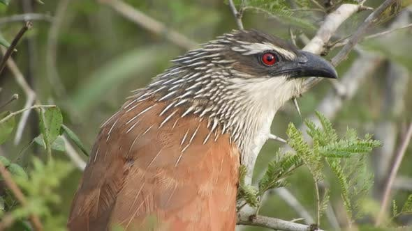 White Browed Coucal in Africa