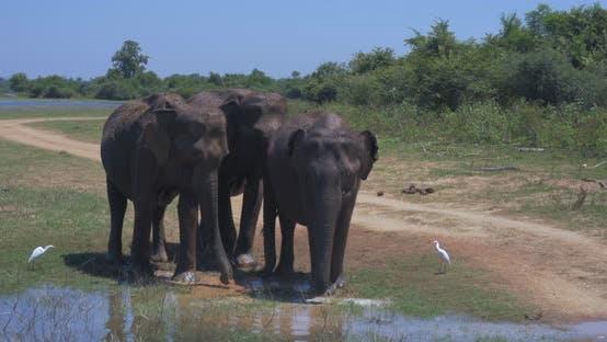 Thumbnail for Elephants Splashing Mud in the National Park of Sri Lanka
