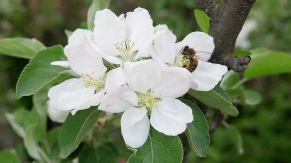 Thumbnail for Bee Collects Nectar on Blossoming Apple Tree Flower