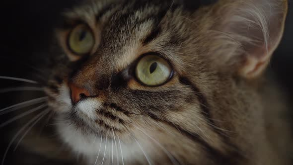 Thumbnail for Muzzle of a Cute Fluffy Tabby Cat Close Up. Slow Motion