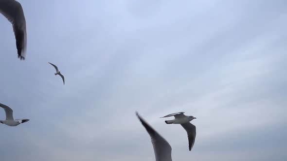 Seagulls Flying In The Gray Clean Sky. Close Up Flock Of Birds Flies Slow Motion. 9